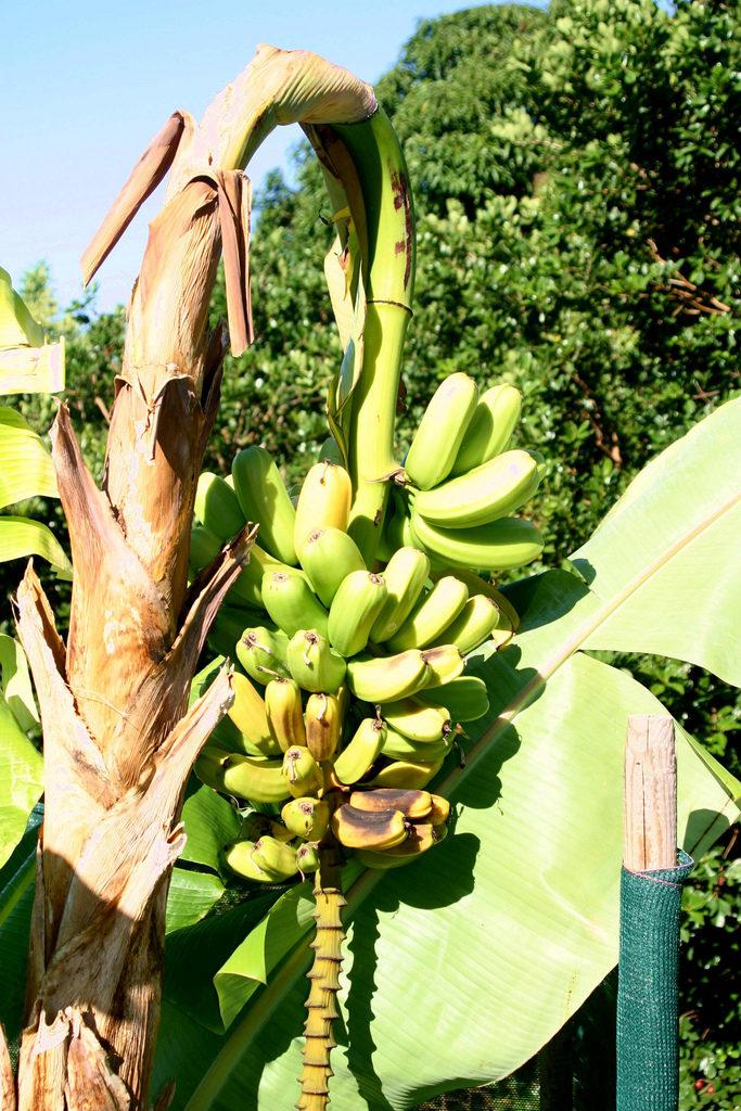 De Panamaziekte vernietigde bananenoogsten in de jaren vijftig (© Scot Nelson)