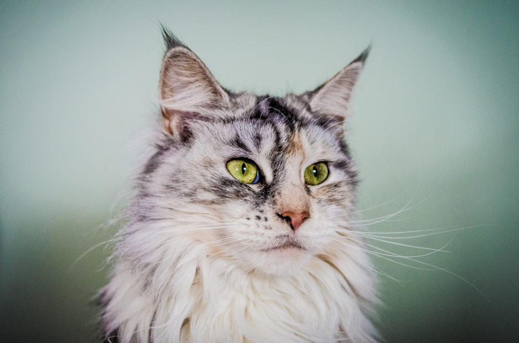 El hermoso Coon de Maine es una raza autóctona de gatos (© Nicholas Erwin)