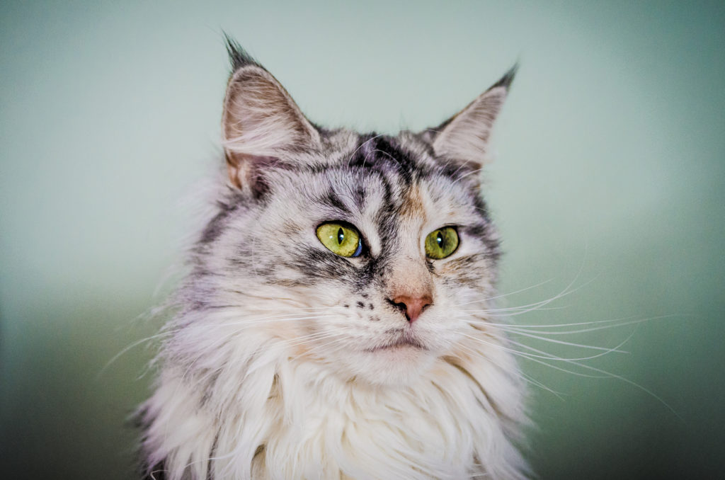 The beautiful Maine Coon is a landrace cat breed (© Nicholas Erwin)