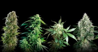 Sensi Seeds launches Classic Redux Series with three new cannabis seed strains, plus White Label Pure Power Plant® Automatic