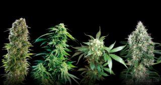 """Sensi Seeds lanza la """"Classic Redux Series"""" con tres variedades de semillas de cannabis nuevas, además de Pure Power Plant® de White Label"""
