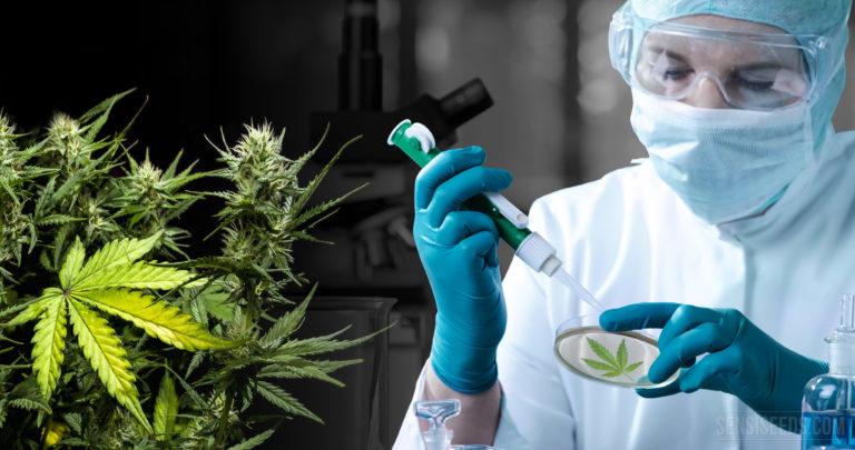 Dix remarquables études en cours sur le cannabis