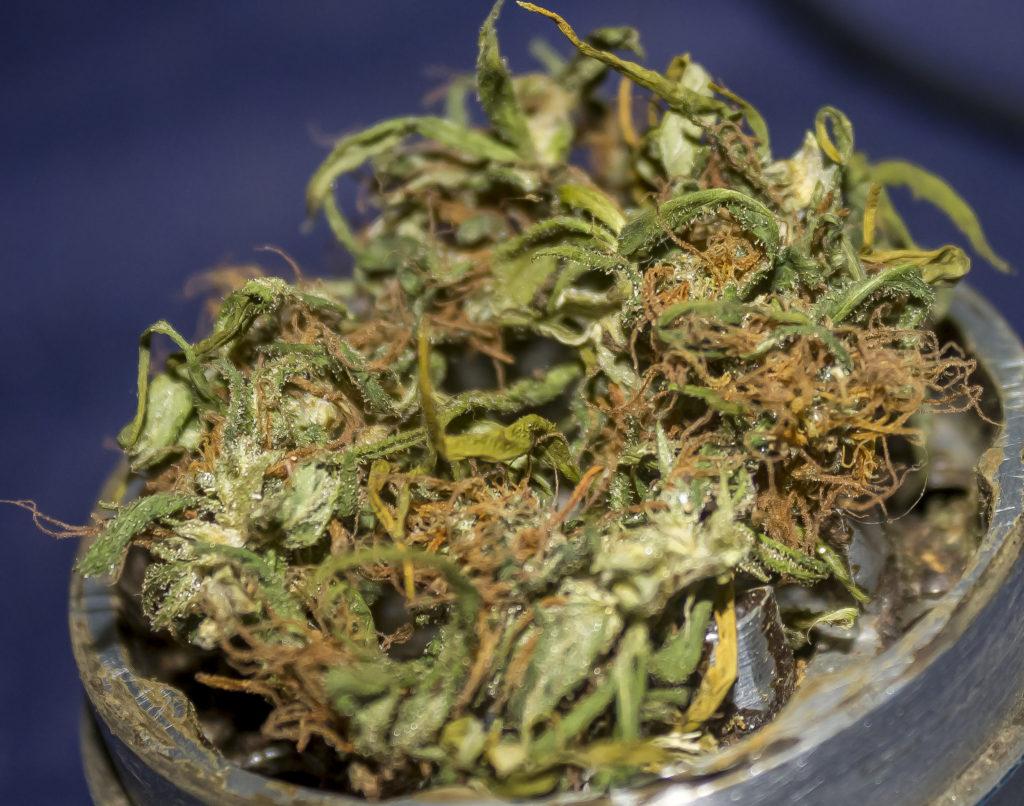 """Gefordert wird die Legalisierung eines """"kontrollierten"""" Anbaus von Cannabis nur für medizinische Zwecke"""