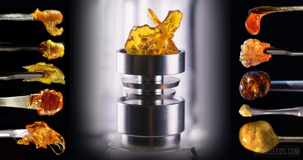 Full concentration – cannabis extracts on the road to success - Sensi Seeds Blog