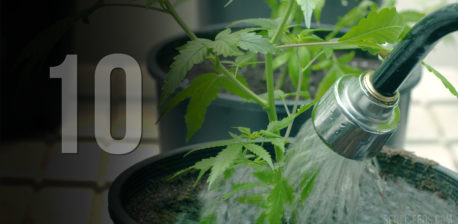 A hose watering a small cannabis plant in a black pot