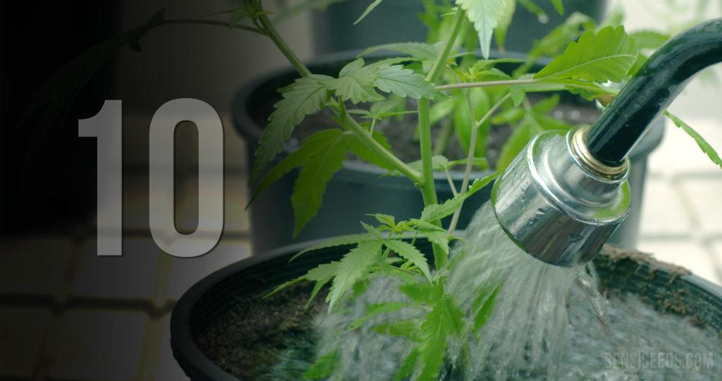 Una manguera que rega una pequeña planta de cannabis en una olla negra.