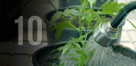 Een slang die een kleine cannabisplant in een zwarte pot water geeft