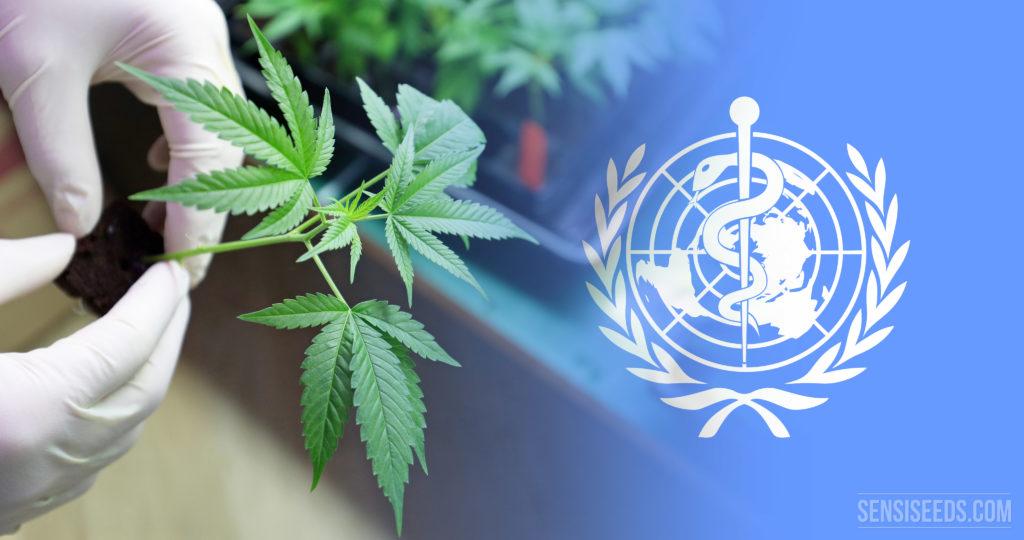 C'est confirmé ! L'OMS évaluera officiellement la valeur médicinale du cannabis - Sensi Seeds Blog