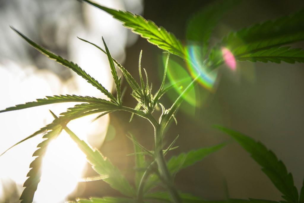 Los 10 errores más comunes al cultivar cannabis - Sensi Seeds Blog