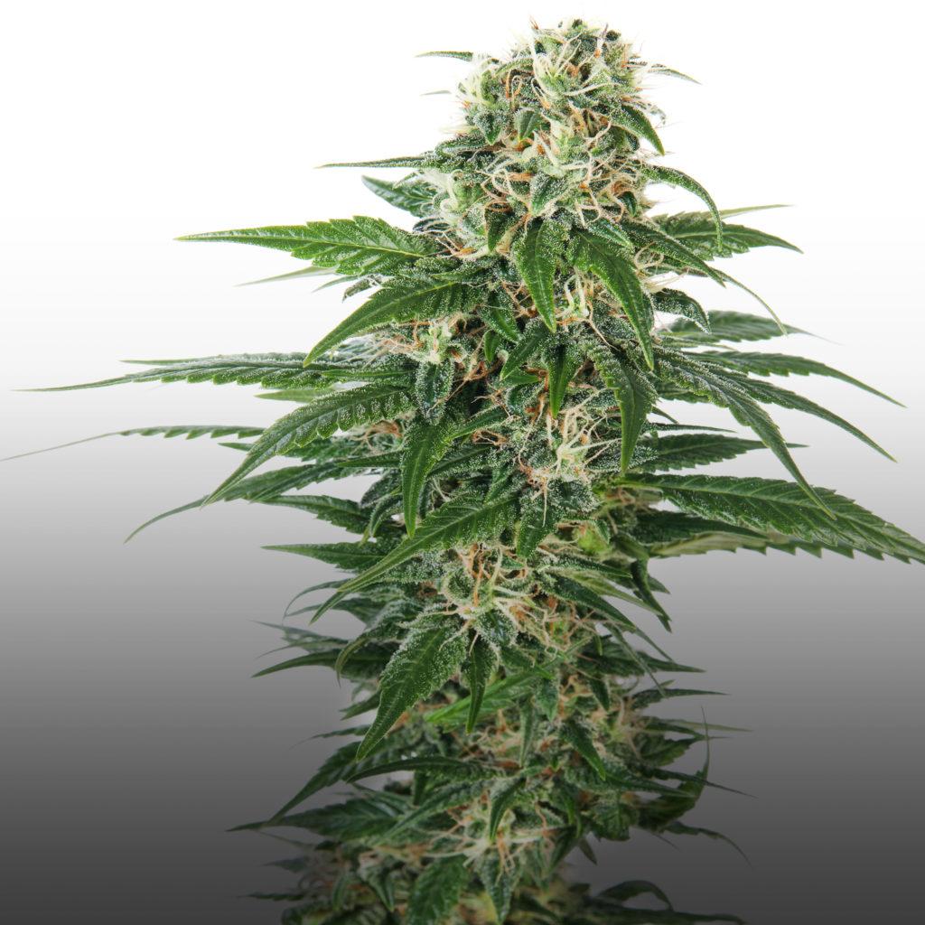 Vroege stinkdier automatische cannabisstam