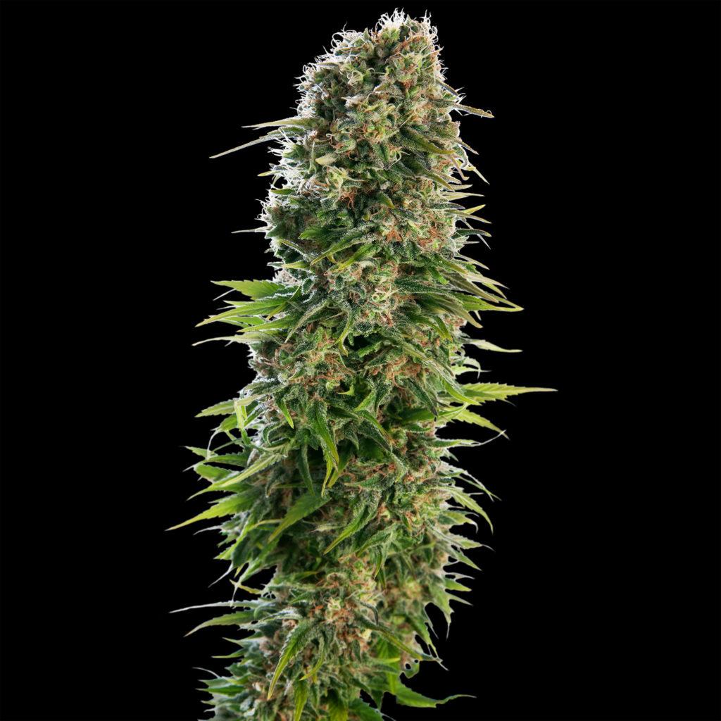 3 variétés Sensi Seeds que vous pouvez planter maintenant - Sensi Seeds Blog