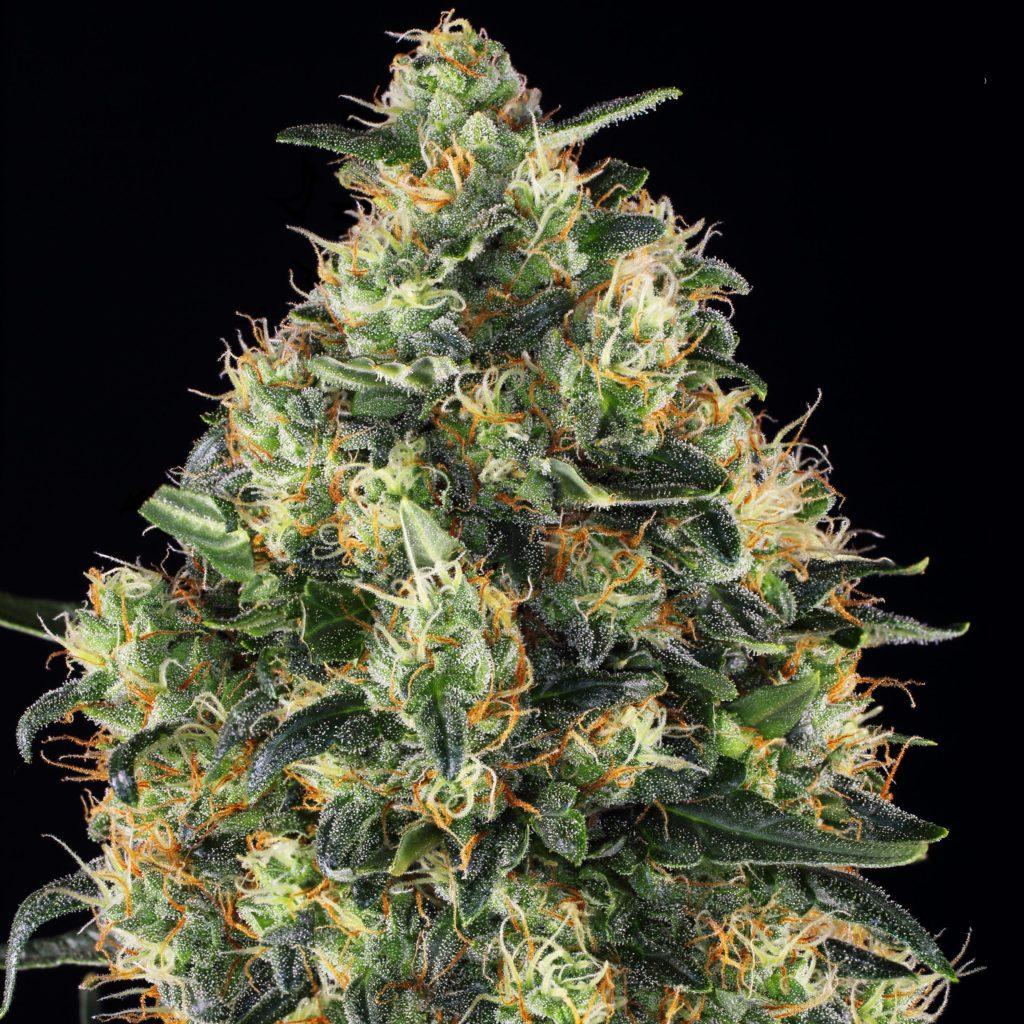 Super Skunk Cannabis Strain