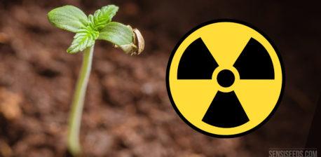 El Cáñamo y la Descontaminación de Suelo Radiactivo - Sensi Seeds Blog