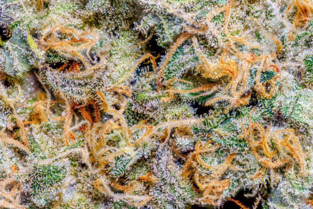 Nouvelle étude : effets neurorégénérateurs du THC - Sensi Seeds Blog