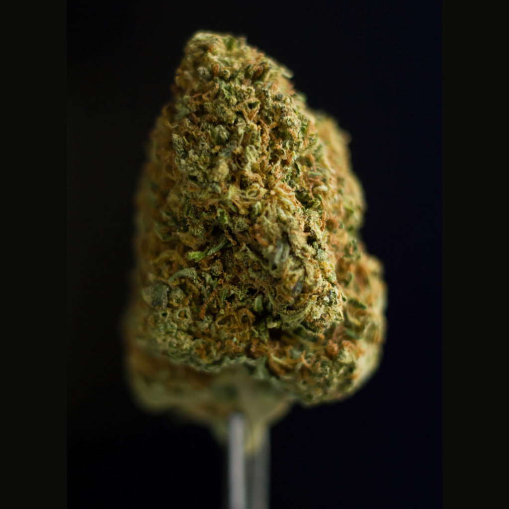A close-up photograph of a manicured bud of California Indica cannabis from Sensi Seeds