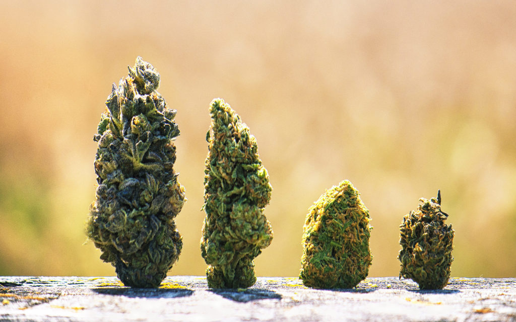 A photograph of four manicured buds of different types of cannabis, decreasing in size from left to right