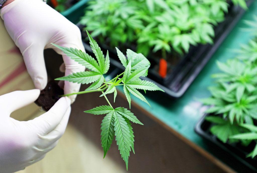 Een foto van een kleine cannabisplant die verpot wordt en vast wordt gehouden door twee handen met rubberen handschoenen aan. Op de achtergrond zijn dienbladen zichtbaar met daarop meerdere kleine cannabisplanten.