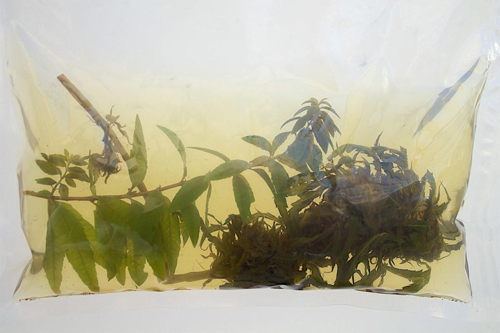 Una fotografía de un cogollo fresco de cannabis impregnado en ron con hierba limón dentro de una bolsa al vacío.