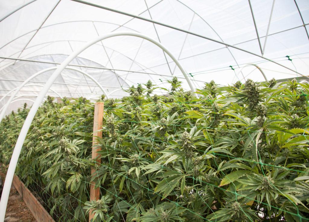 Een foto van een broeikas binnenshuis met cannabisplanten die met staaldraad op hun plaats gehouden worden.