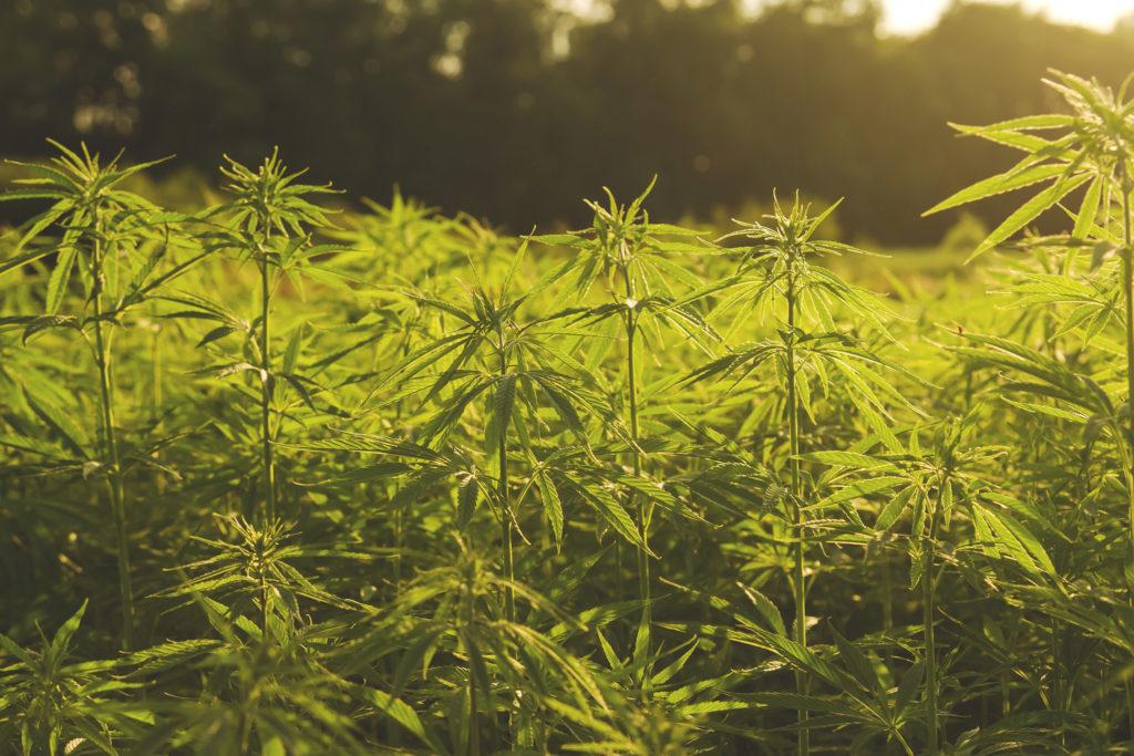 Ein Foto von einem Hanffeld im Sonnenschein. Die Pflanzen sind dünn, hellgrün und groß.