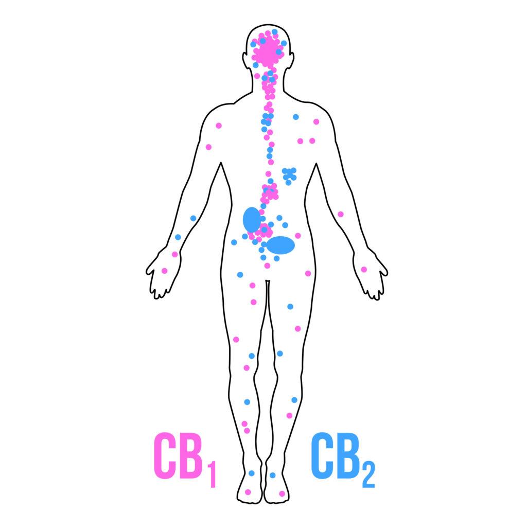 Cannabinoïdes – que sont-ils et que font-ils ?