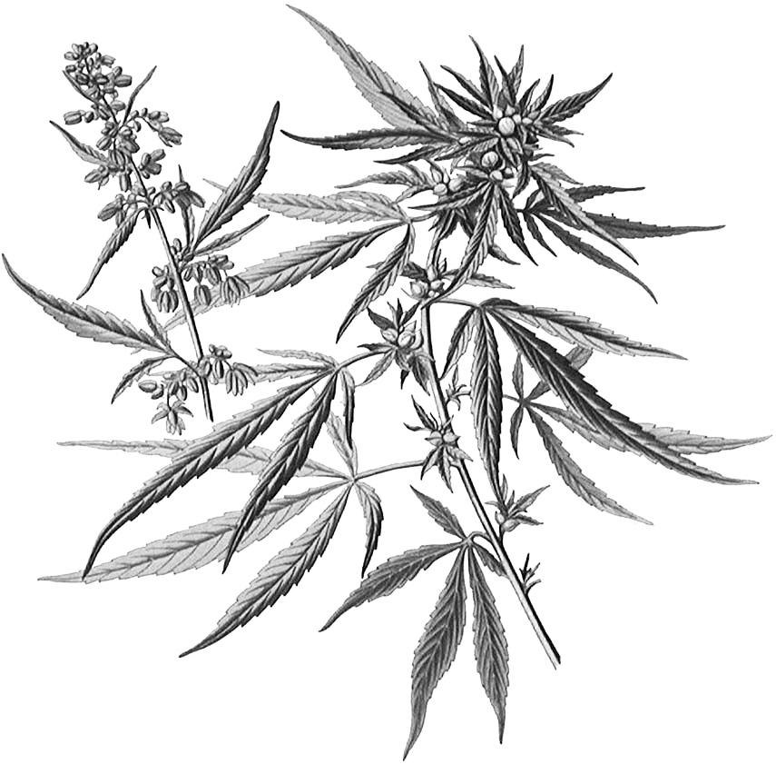Cannabinoïden – wat zijn ze, en wat doen ze?