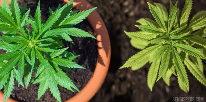 Een van bovenaf genomen foto van een cannabisplant in een pot aarde en een cannabisplant die direct in de aarde groeit.