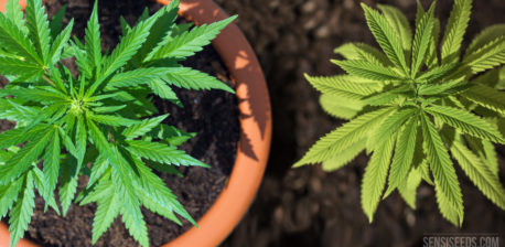 A top down photograph of a potted cannabis plant in soil, and a cannabis plant growing directly from the ground.