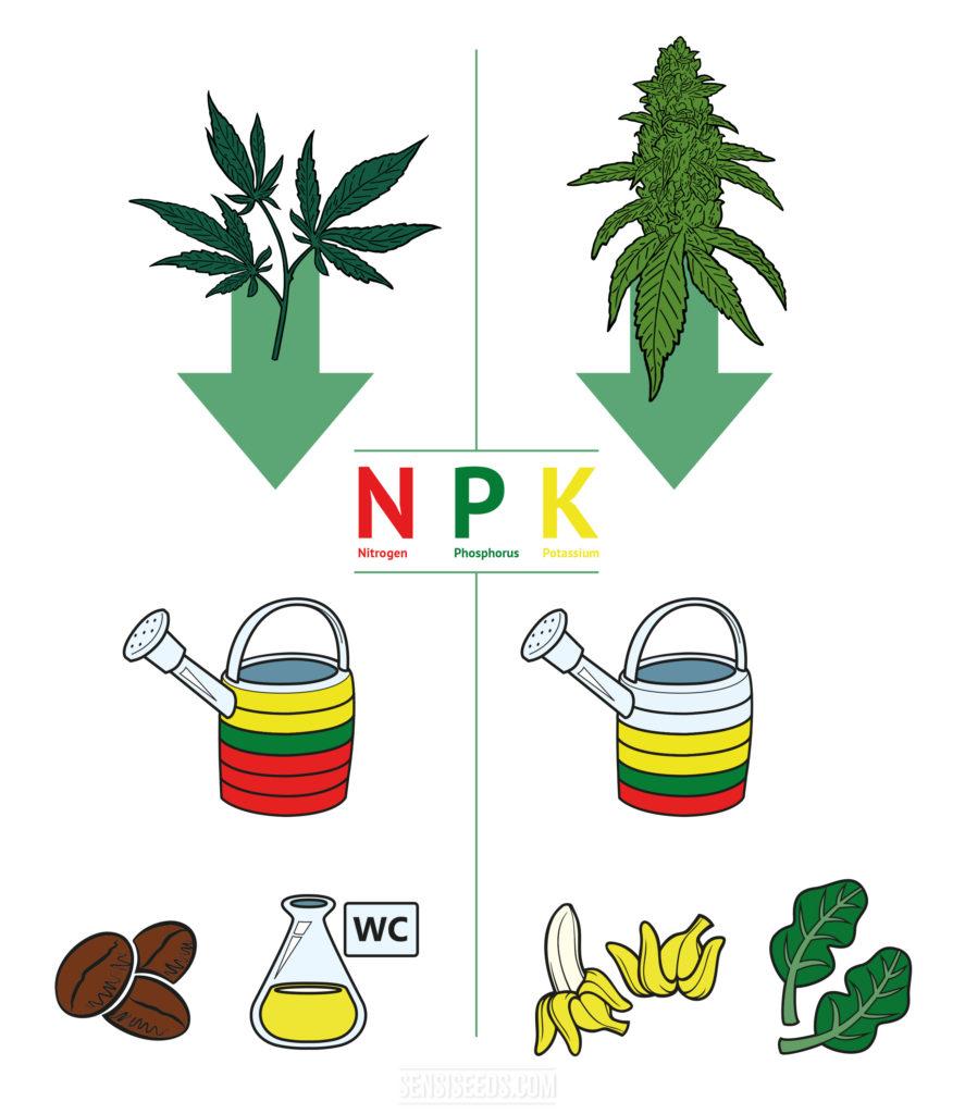 """Infografía que muestra el proceso de hacer tu propio fertilizante. La imagen está dividida horizontalmente por una línea fina verde. En el medio de la imagen, está escrita en rojo la letra N con """"Nitrógeno"""" debajo, P en verde con """"Fósforo"""" debajo de ella, y K con """"Potasio"""" debajo. Ambos lados de la imagen cuentan con una gran flecha verde que apunta hacia abajo. El lado izquierdo muestra las primeras etapas de una planta de cannabis, mientras que el lado derecho muestra una planta de cannabis en floración. El lado izquierdo de la imagen muestra una regadera con anillos de colores que forman el cuerpo, son dos anillos amarillos, uno verde y tres rojos. Debajo de la regadera, hay unos iconos de granos de café y de un vaso con orina. En el lado derecho de la imagen, la regadera se divide con dos anillos azules claros, dos amarillos, uno verde y uno rojo. Debajo de la regadera, hay unos iconos de plátanos y espinacas."""