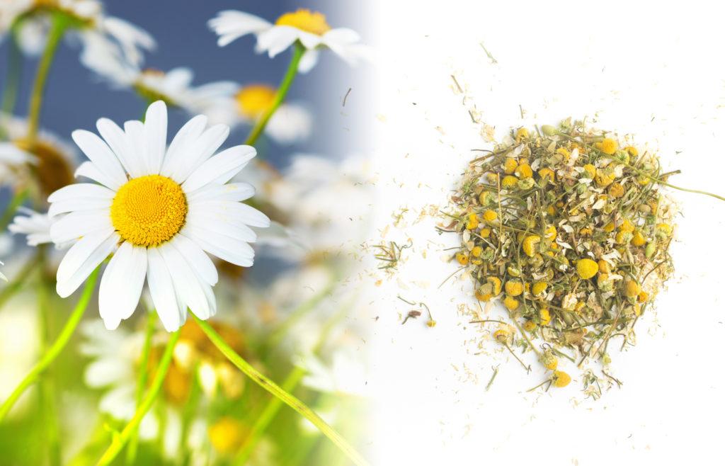 Een close-up van een groep kamillebloemen. Het zijn kleine, madeliefachtige bloemen met een klein geel, compact kegelhart, omringd door witte bloemblaadjes. De blaadjes zijn tweevoudig gedeeld en lijken op kleine veertjes. De steel is groen. Naast de verse plant staat een gedroogde, bruine kruidenmix met gele gedroogde kegelharten op een wit oppervlak.