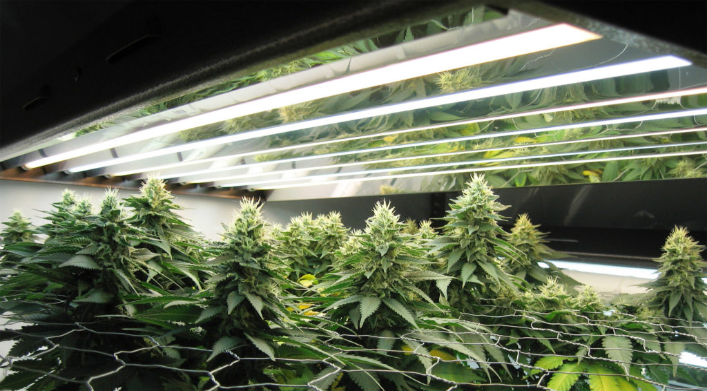 A photograph showing an indoor grow of cannabis plants blooming through a screen. Lights hang above the plants.