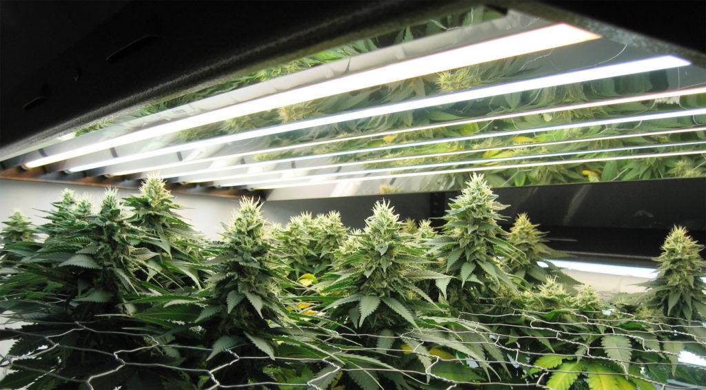 Een foto van een binnenkweekruimte van cannabisplanten die door een scherm heen bloeien. Er hangen lampen boven de planten.