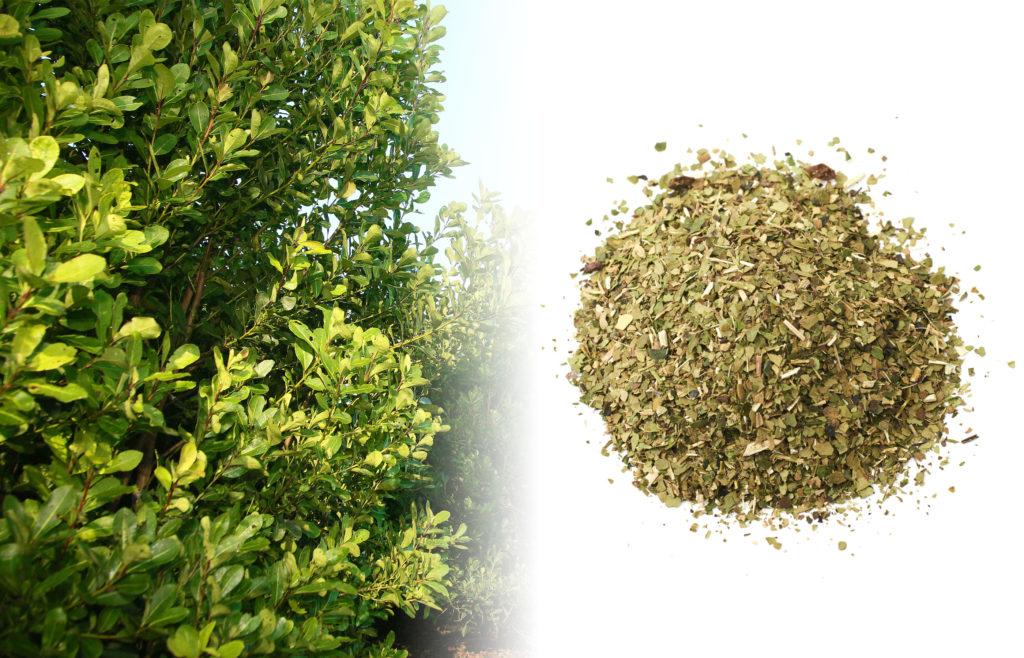 Fotografía de un gran arbusto de yerba mate. Crece muy alto, verde, y está densamente poblado por pequeñas hojas verdes. Al lado de la planta fresca, hay una fotografía de una mezcla seca de yerba mate.