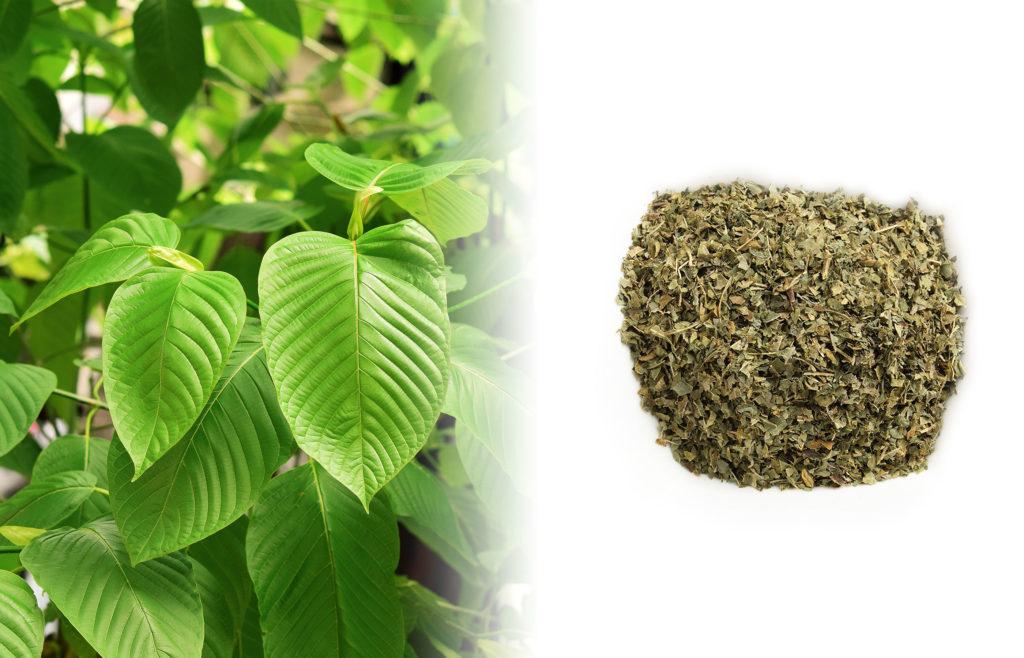 Een close-up van een Kratom-plant. De bladeren zijn donkergroen en glanzend en hebben een brede ovaalvorm. Rechts van de verse plant staat een gedroogde, groenbruine Kratom-kruidenmix op een wit oppervlak.