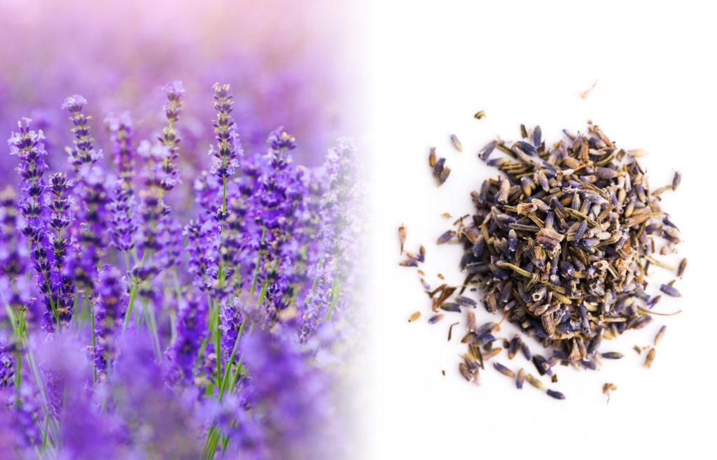 Een close-up van een lavendelveld. We zien een struik met minuscule, buisvormige paarse bloemen, die in kransen van zes bloemetjes groeien, de hoekige stelen vormen een scherpe punt. Rechts van de verse plant staat een kruidenmix van gedroogde lavendel met de kleuren bruin en paars op een wit oppervlak.