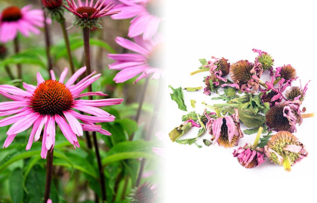 Primer plano de la flor de la equinácea. Cuenta con un cono tipo el del girasol de color rojo y naranja. Tiene pétalos largos de color púrpura alrededor del cono. Al lado de la planta fresca, hay una fotografía de flores de equinácea secas sobre una superficie blanca.