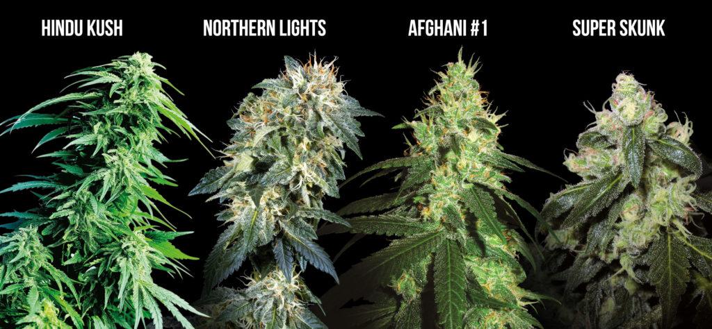 Ein Foto zeigt einzelne Cannabispflanzen mit ihren jeweiligen Bezeichnungen darüber: Hindu Kush, Northern Lights, Afghani #1 und Super Skunk. Alles vor einem schwarzen Hintergrund.
