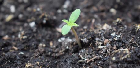 Een foto van een piepjong cannabisplantje dat uit de grond omhoog spruit.