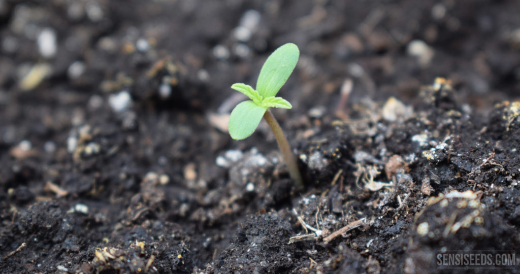 Das Foto einer sehr jungen Cannabispflanze, die gerade aus der Erde sprießt.