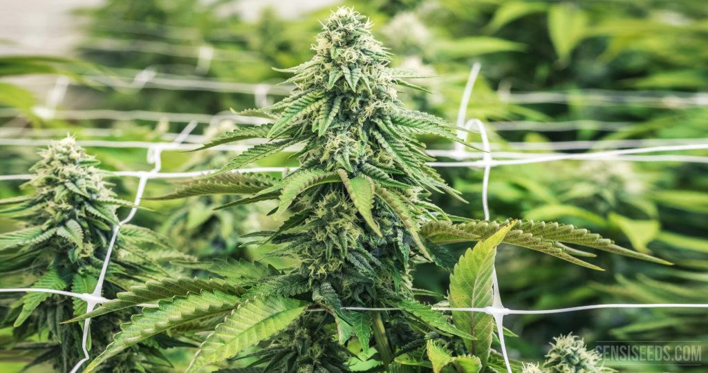 Eine Nahaufnahme einer blühenden Cannabispflanze, die durch ein Gitternetz wächst.