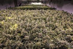 Fotografía de un cultivo en interior mostrando una gran cosecha de plantas de cannabis. Dominan la imagen. El método de cultivo utilizado se conoce como el Sea of Green o Mar Verde.