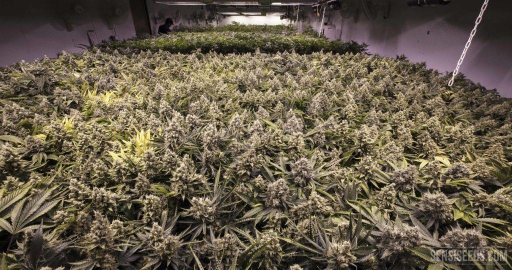 Een foto van een binnenkweekruimte waar een grote oogst cannabisplanten staat. Ze domineren de foto. De gehanteerde kweekmethode staat bekend als de 'Sea of Green'.