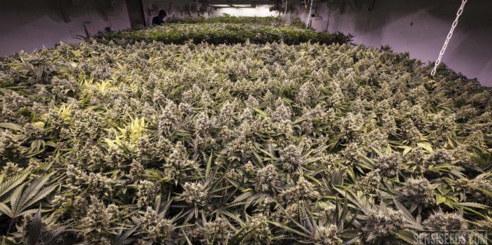 Ein Foto einer Indoor-Zucht mit einer großen Menge von Cannabispflanzen. Sie beherrschen das gesamte Bild. Die Zuchtmethode ist unter dem Namen Sea of Green bekannt.