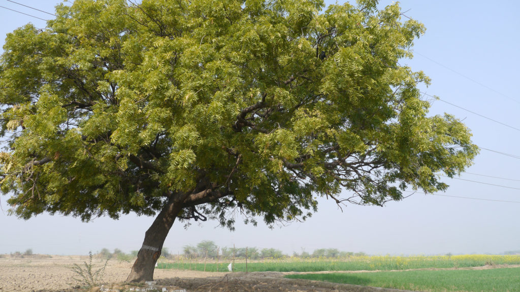 A photograph of a large Neem tree. Its branches are wide and spreading with a large cluster of dark green leaflets. It grows in a field near a farm and is slightly slanted.