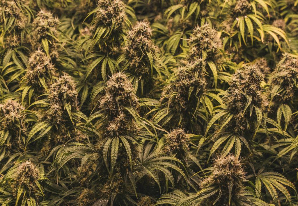 Fotografía mostrando un medio plano de un grupo de gran tamaño de plantas de cannabis, plantadas relativamente muy cerca unas de otras. Parecen ser todas de la misma variedad y llenan la pantalla.