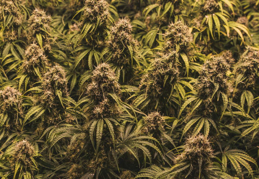 A photograph showing a medium close up photo of a large cluster of relatively densely packed cannabis plants. They all seem to be the same species and fill the screen.