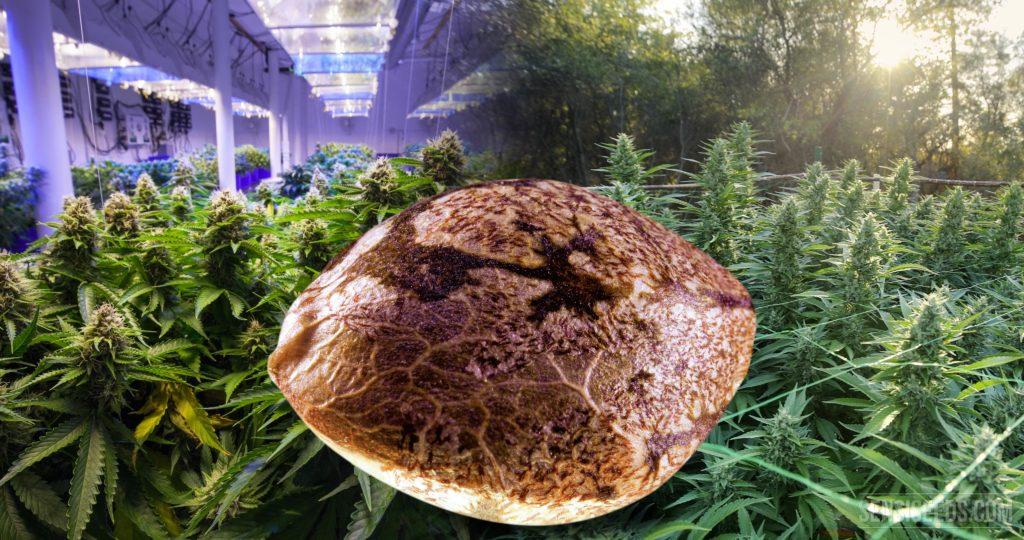 Imagen yuxtapuesta que muestra un primer plano aumentado de una semilla de cannabis en el centro, una plantación de cannabis en interior a la izquierda de la imagen y una plantación en exterior a la derecha.