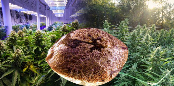 Ein Bild, auf dem nebeneinander Folgendes zu sehen ist: In der Mitte eine vergrößerte Nahaufnahme eines Cannabissamenkorns, rechts im Bild drinnen angebaute Cannabispflanzen und links ein Cannabisanbau im Freiland.