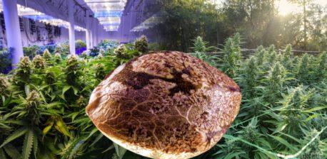Juxtaposition d'images montrant au milieu une graine de cannabis en très gros plan, une plantation de cannabis en intérieur à droite, et une plantation en extérieur à gauche.