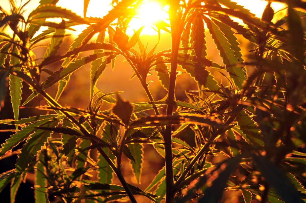 Een close-up van een cannabisplant en haar eigen schaduw, deze groeit buiten. De zon verdwijnt bijna achter de horizon, wat een gouden gloed aan de afbeelding geeft.